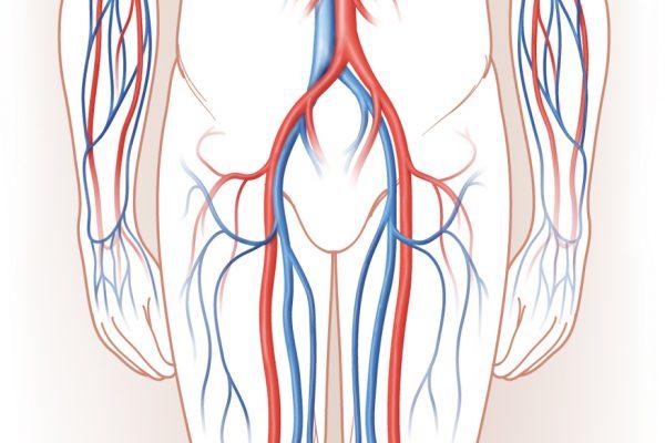 Blood Vessels- Arteries & Veins